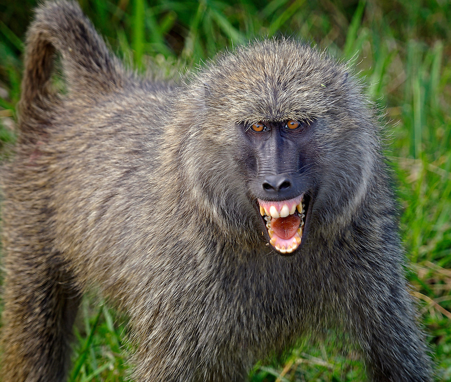 Protecting his family, this male alpha baboon stood his ground on the road as we waited for him to move so we could drive by.