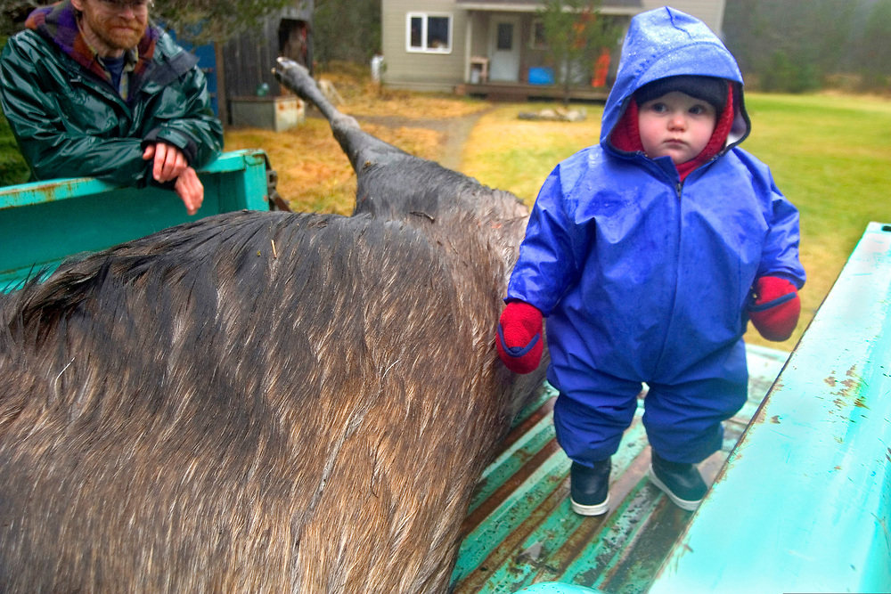 Gustavus, Alaska. A baby girl stands next to a dead moose in the bed of a pick-up truck during a rainy hunting season in Southeast Alaska.