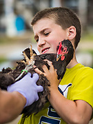 26 JUNE 2019 - CENTRAL CITY, IOWA: LUCAS TAYLOR, 12, holds his chicken while it's inspected at the poultry check in at the Linn County Fair. Summer is county fair season in Iowa. Most of Iowa's 99 counties host their county fairs before the Iowa State Fair, August 8-18 this year. The Linn County Fair runs June 26 - 30. The first county fair in Linn County was in 1855. The fair provides opportunities for 4-H members, FFA members and the youth of Linn County to showcase their accomplishments and talents and provide activities, entertainment and learning opportunities to the diverse citizens of Linn County and guests.       <br /> PHOTO BY JACK KURTZ