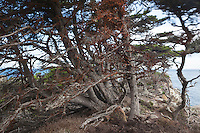 The Effects of Sea and Wind on Monterey Cypress Trees, Point Lobos State Natural Reserve, California