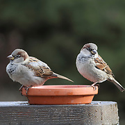 Two male House Sparrows, Passer domesticus, in winter plummage sitting on the bottom of a flower pot. New Jersey, USA