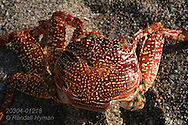 Colorful red orange shell of Sally Lightfoot crab (Grapsus grapsus); Sea of Cortez, Baja Sur, Mexico