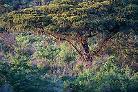 Thick Riparian Vegetation, iMfolozi Game Reserve, KwaZulu Natal, South Africa
