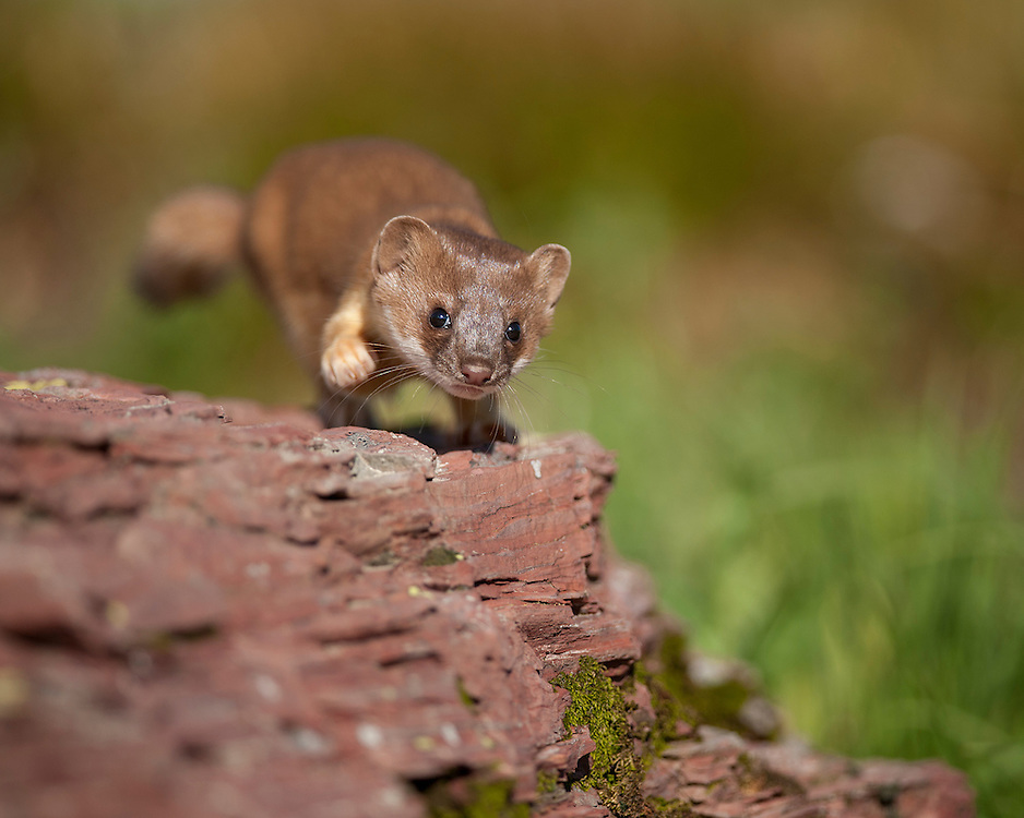 A long-tailed weasel pup is about to pounce on an imaginary prey, Glacier National Park