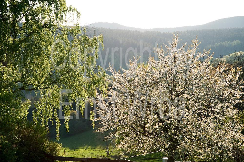 blühender Kirschbaum, Hohegeiß, Harz, Niedersachsen, Deutschland | flowering cherry tree, Hohegeiß, Harz, Lower Saxony, Germany