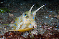 Longhorn Cowfish portrait<br /> <br /> <br /> <br /> Shot in Indonesia