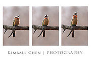White-fronted Bee-eater, poster (12x18-in)
