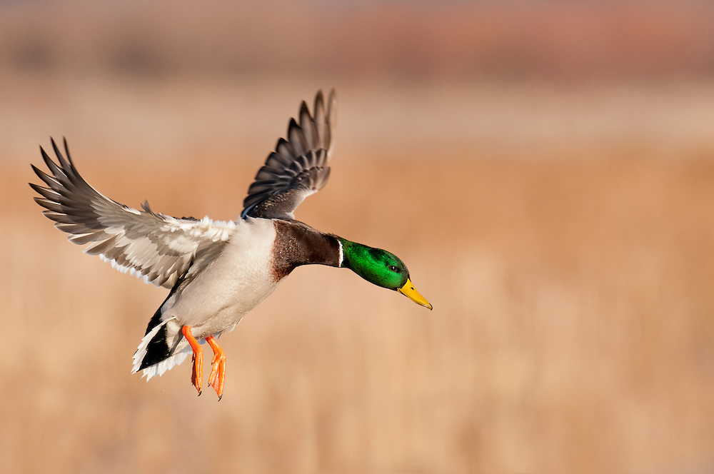 Mallard, Anas platyrhynchos, male, Shiawassee NWR, Saginaw County, Michigan