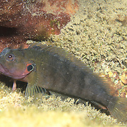 Hairy Blenny Complex inhabit shallow inshore habitats from rocky shore lines to patch reefs in Tropical West Atlantic; picture taken Juipter, FL.