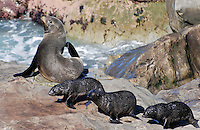 New Zealand fur seals - an adult & three pups - photographed near Kaikoura, South Island, New Zealand. 2010004115305..Copyright Image from Victor Patterson, 54 Dorchester Park, Belfast, United Kingdom, UK. Tel: +44 28 90661296. Email: victorpatterson@me.com; Back-up: victorpatterson@gmail.com..For my Terms and Conditions of Use go to www.victorpatterson.com and click on the appropriate tab.