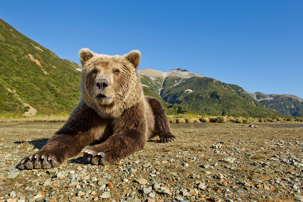 USA, Alaska, Katmai National Park, Grizzly Bear (Ursus arctos) resting along spawning stream by Kinak Bay at sunrise on autumn morning