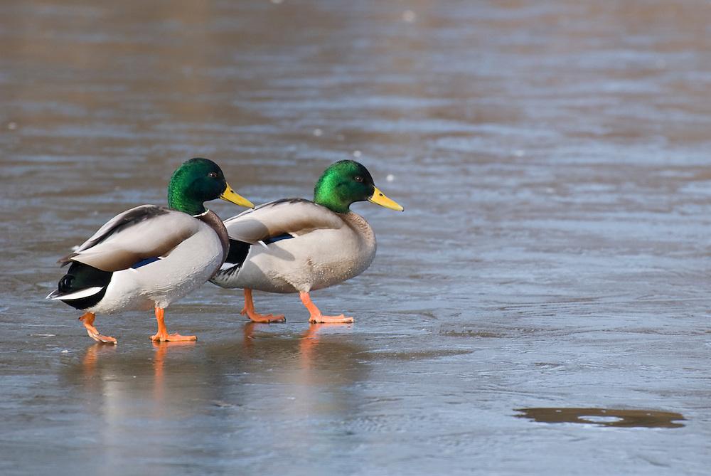Mallard drakes (Anas platyrhynchos) walking across a frozen lake