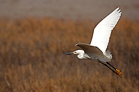 A Snowy Egret takes flight from a local marsh pond looking for more productive water to feed.