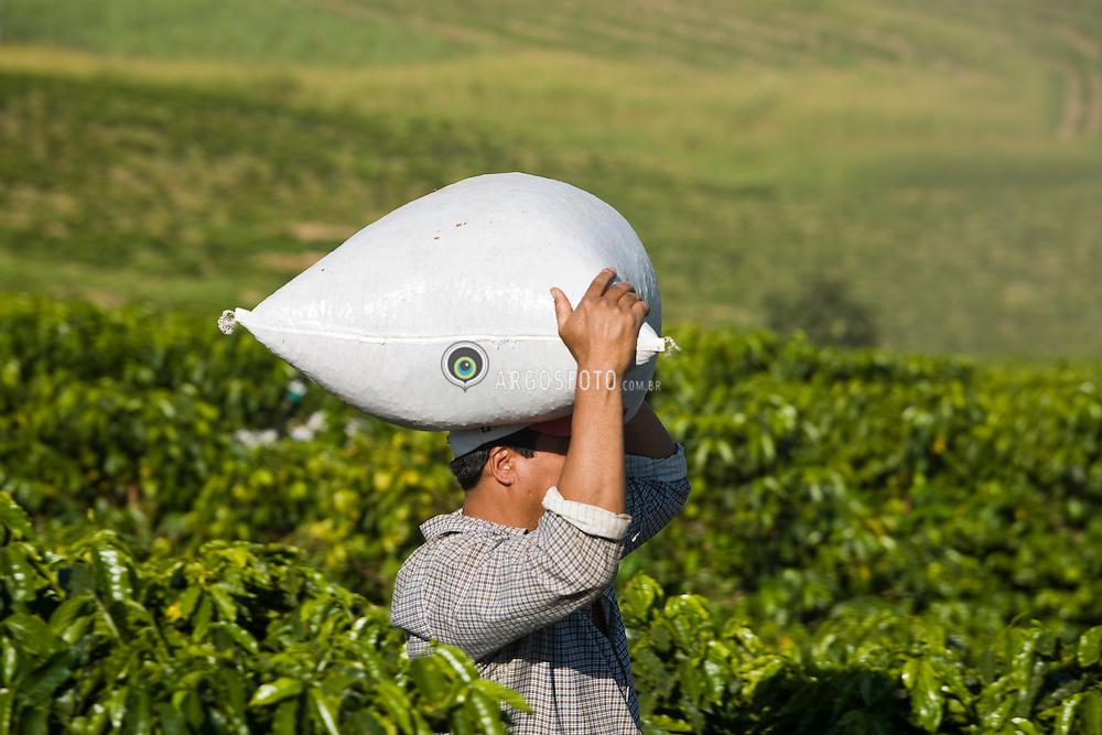A rural worker harvesting arabic coffee beans / Trabalhador rural colhendo cafe em fazenda do interior de Sao Paulo