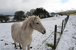 © Licensed to London News Pictures. 10/02/2019. Llandegley, Powys, Wales, UK.  A white horse is seen in a wintry landscape as snow falls on high land near Llandegley in Powys, Wales, UK. credit: Graham M. Lawrence/LNP