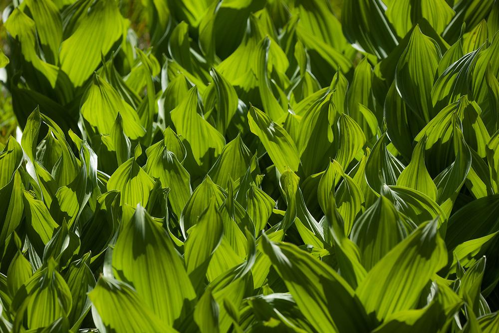 Veratrum californicum (Corn lily) at Quaking Aspen, Tulare Co, CA, USA, on 04-Jun-15