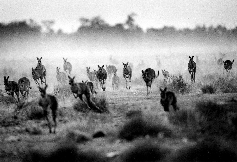 'Kangaroo Harvesting'..Kangaroos on Oxley Station in the Macquarie Marches, western New South Wales, Australia, August 2002.