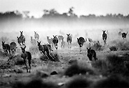 Kangaroo Harvesting