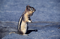 Golden-mantled Ground Squirrel (Spermophilus lateralis), Banff National Park, Alberta, Canada - Photo: Peter Llewellyn