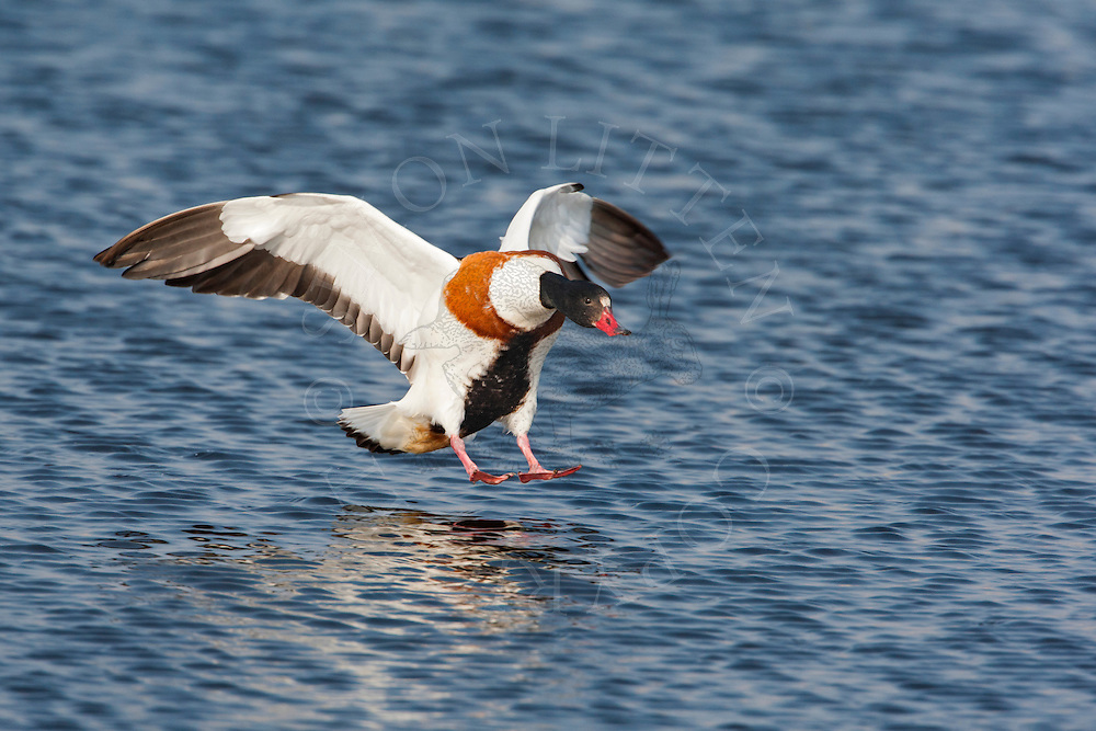 Common Shelduck (Tadorna tadorna) adult in flight, coming in to land on water, Norfolk, UK.