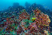 The rocky reefs of the Galapagos, volcanic in origin, shelter countless species of fish and invertebrates.