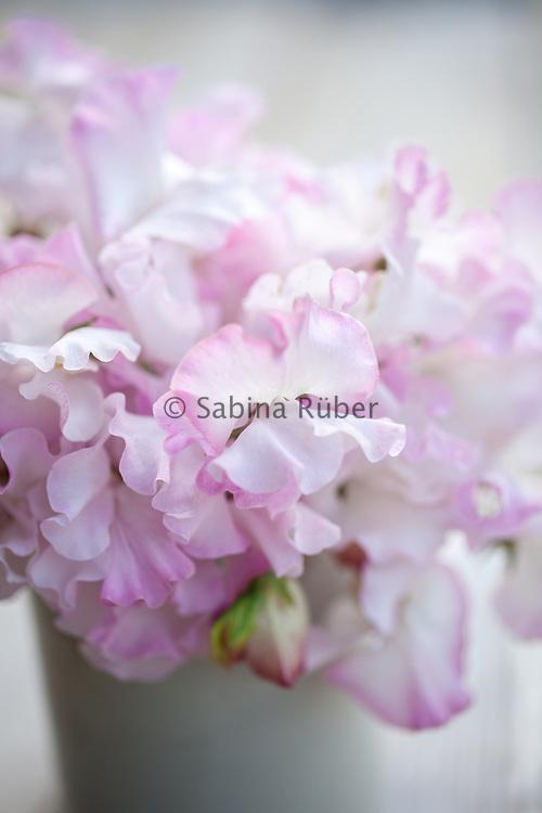 Lathyrus oderatus 'Anniversary' - sweet pea arrangement in small white jug