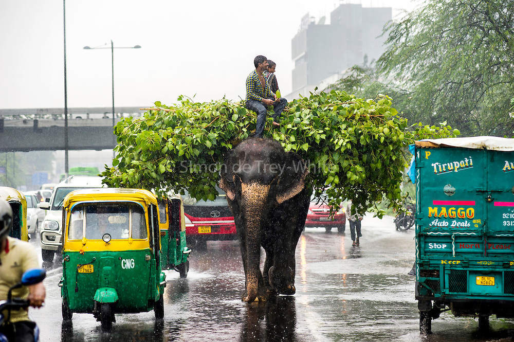 11th September 2014, New Delhi, India. An elephant loaded with fodder pillaged from the city's trees is ridden by handlers on a busy road in monsoon rain in New Delhi, India on the 11th September 2014<br />