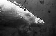 Deutschland, DEU, Stuttgart, 2000: Ein Eisbär (Ursus maritimus) taucht in die Tiefe, Tierpark Wilhelma. | Germany, DEU, Stuttgart, 2000: Polar bear, Ursus maritimus, diving into the depth, Tierpark Wilhelma, Stuttgart. |