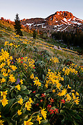 Carson pass wildflowers below round top peak