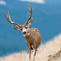 trophy mule deer buck on ridge in tall grass with blue mountain background