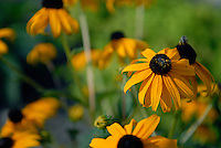 Brown-Eyed Susan in Columbus, Ohio on July 18, 2012.