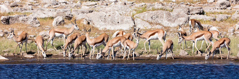 A herd of springbok drink from a waterhole, Etosha National Park, Namibia.