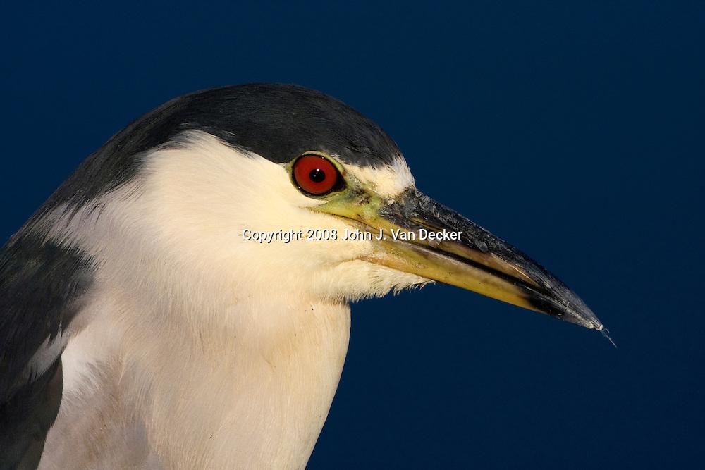Black-Crowned Night-Heron closeup of head