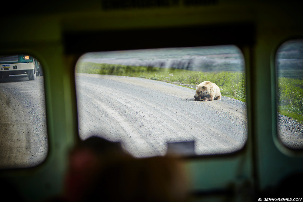 A grizzly bear casually takes a roadside nap while tour buses slowly crawl by and gawk in Denali National Park, Alaska.