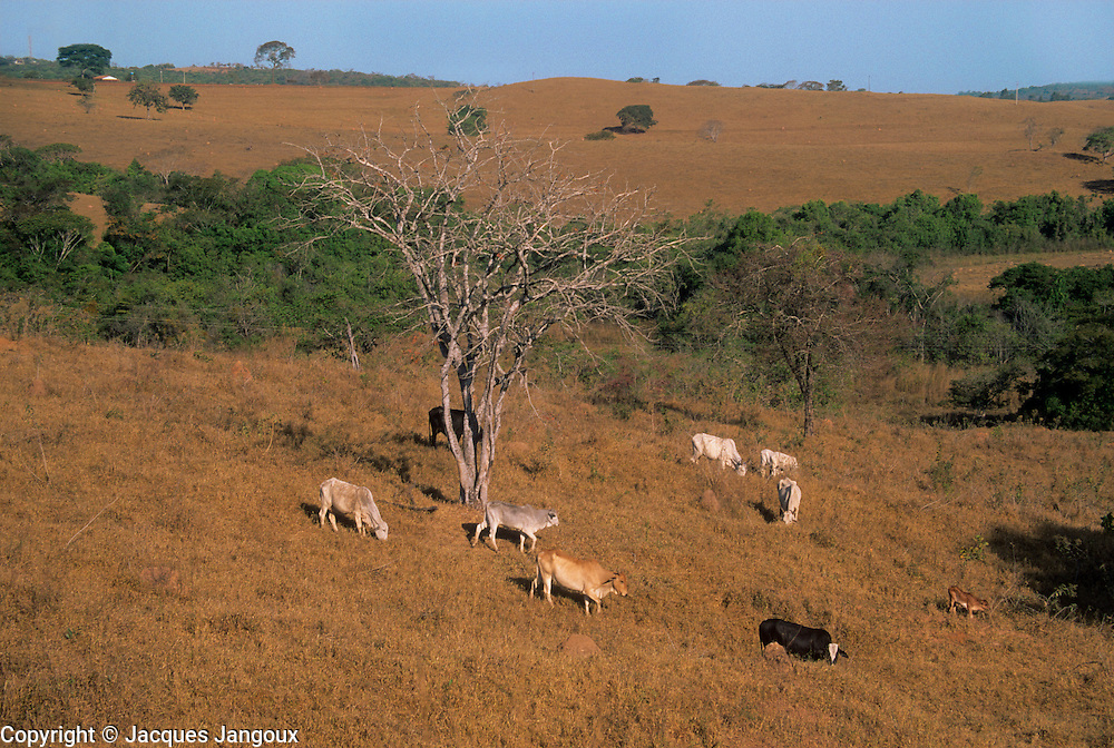 Cattle in dry pasture formed on degraded savanna during dry season, Minas Gerais State, Brazil