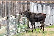 Moose feeding near corral