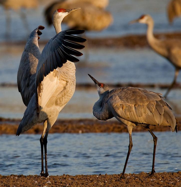 PlatteRiver2008.10-Sandhill Cranes make their annual stopover along the Platte River in central Nebraska during the spring migration.