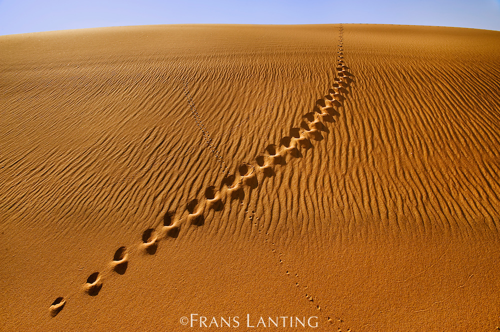 Cape fox tracks in sand, Namib-Naukluft National Park, Namibia
