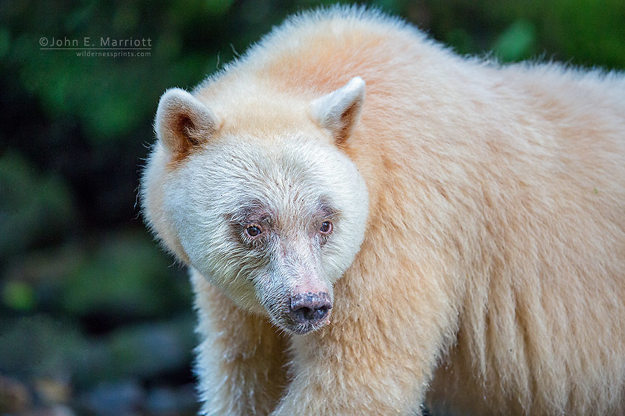 White kermode spirit bear in the Great Bear Rainforest, BC, Canada
