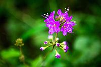 Purple flowers of a bushveld shrub, Thanda Private Game Reserve, KwaZulu Natal, South Africa