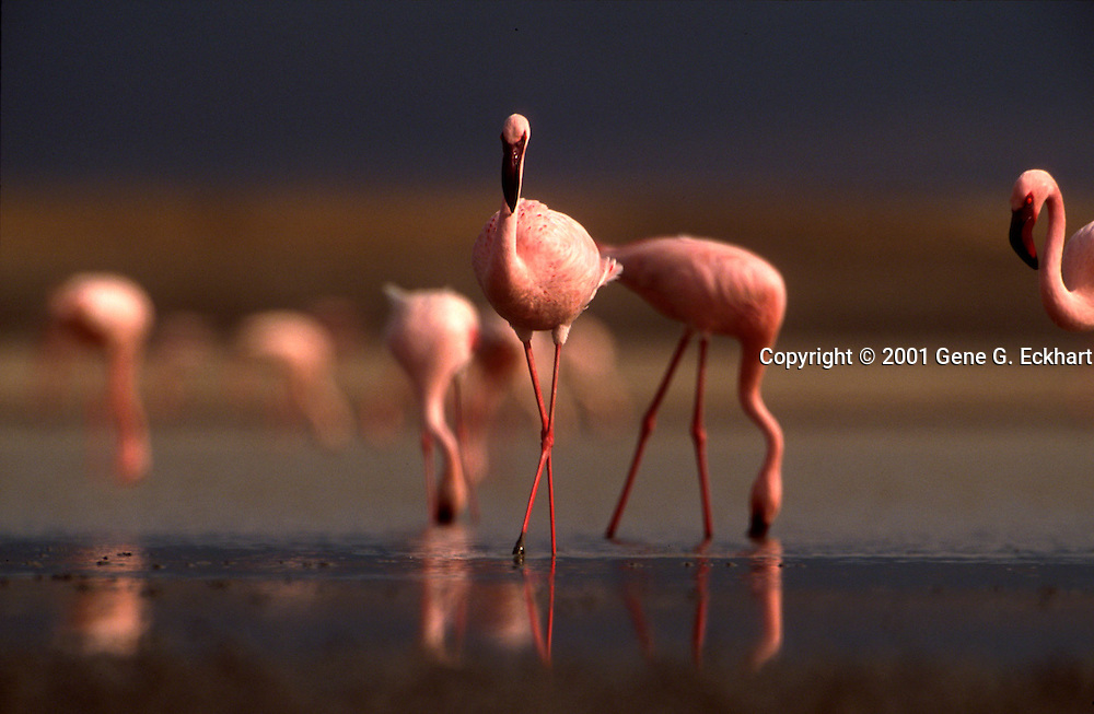 Ngorongoro Crater - Tanzania <br /> <br /> Grace, elegance and beauty typify the flamingo.