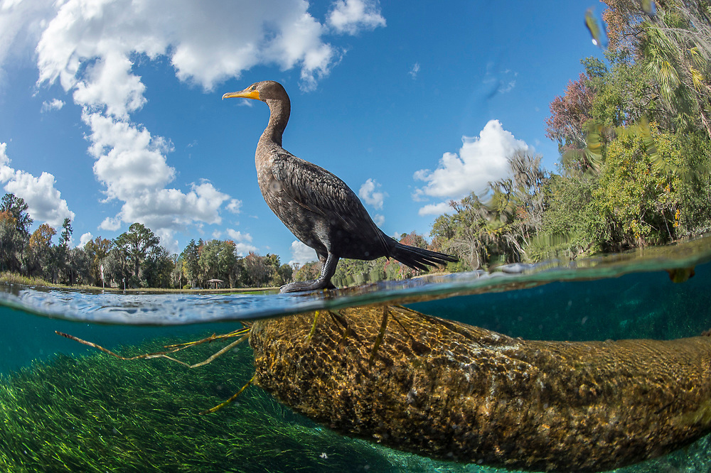 A Double-breasted Cormorant, Phalacrocorax auritus,  rests on a tree stump in the Rainbow River in Dunnellon, Florida.