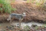 Wild feral dog in the wilderness