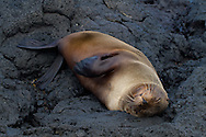 Gal&aacute;pagos Fur Seal (Arctocephalus galapagoensis)<br /> ECUADOR: Galapagos Islands<br /> James Bay on Santiago (James, San Salvador) Island<br /> 24-Aug-2010<br /> J.C. Abbott &amp; K.K. Abbott