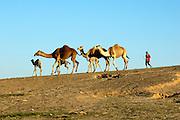 Israel, Negev desert, A bedouin driving a herd of camels