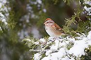 01588-00915 American Tree Sparrow (Spizella arborea) in Juniper tree (Juniperus keteleeri) in winter Marion Co. IL
