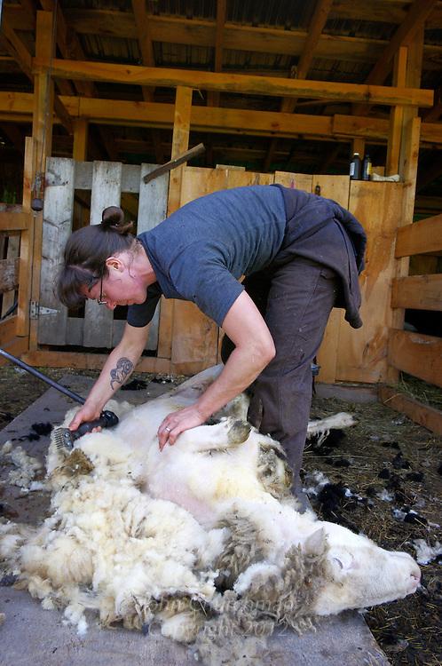 Shearing the ram, Mary Lake, Shearer