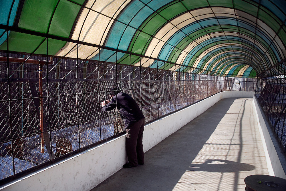 A tourist leans past the first fence of a tiger enclosure to get a picture at the Siberian Tiger Park in Haerbin, Heilongjiang, China.  The Siberian Tiger Park is described as a preserve to protect Siberian tigers from extinction through captive breeding.  Visitors to the park can purchase live chickens and other meat to throw to the tigers.  The Siberian tiger is also known as the Manchurian tiger.