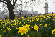 A landscape of spring Daffodils and Buckingham Palace, on 16th March 2017, in St James's Park, London, England.