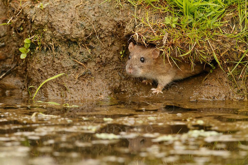 Brown Rat (Rattus norvegicus) adult, emerging from water vole hole, Norfolk, UK.